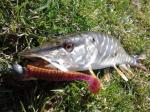 Силиконова примамка Scalp Minnow 13см Crazy Fish